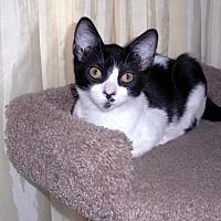 Domestic Shorthair Kitten for adoption in Antioch, California - Tinkerbelle