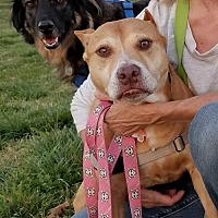 Adopt A Pet :: Betty Old Girl in Search of a Warm Home - Rowayton, CT