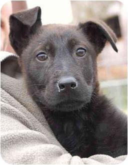 Labrador Retriever/Shepherd (Unknown Type) Mix Puppy for adoption in Inman, South Carolina - Glee