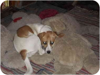 Beagle Mix Dog for adoption in all of, Connecticut - Pony