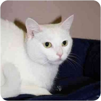 Domestic Shorthair Cat for adoption in Toledo, Ohio - Minnie