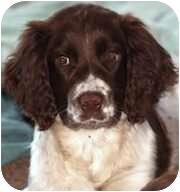 English Springer Spaniel Puppy for adoption in Minneapolis, Minnesota - Tommy (MN)