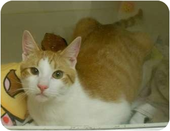 Domestic Shorthair Cat for adoption in Maywood, New Jersey - Fred