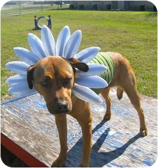 Rhodesian Ridgeback/Labrador Retriever Mix Dog for adoption in Corpus Christi, Texas - Coco