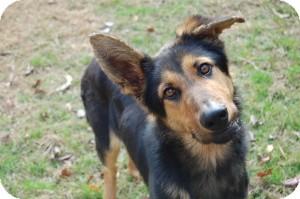 German Shepherd Dog Dog for adoption in Redwood, Mississippi - Trevor