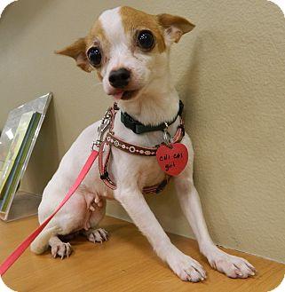 Chihuahua/Chihuahua Mix Dog for adoption in Umatilla, Florida - Chi Chi