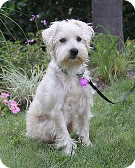 Schnauzer (Miniature)/Poodle (Miniature) Mix Dog for adoption in Newport Beach, California - BOBBIE