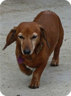 Dachshund Mix Dog for adoption in Irvine, California - Hydee