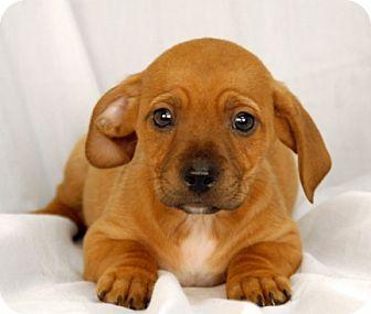 Dachshund/Beagle Mix Puppy for adoption in Newland, North Carolina - Duster
