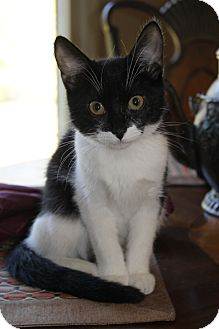 Domestic Shorthair Kitten for adoption in Homewood, Alabama - Lexi