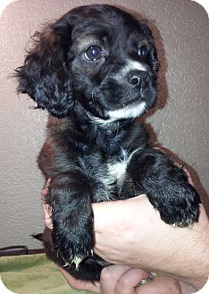 Cockapoo/Beagle Mix Puppy for adoption in SOUTHINGTON, Connecticut - Sophie