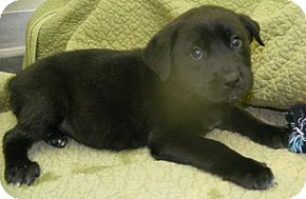 Labrador Retriever/Chow Chow Mix Puppy for adoption in Olive Branch, Mississippi - Penny