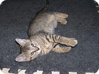 American Shorthair Kitten for adoption in Burgaw, North Carolina - Rosie