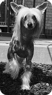 Chinese Crested Dog for adoption in Bridgeton, Missouri - Leo-Adoption pending