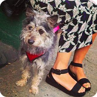 Cairn Terrier/Miniature Schnauzer Mix Dog for adoption in Manhattan, New York - Star
