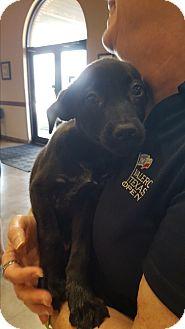 Labrador Retriever Mix Puppy for adoption in San Francisco, California - Petal