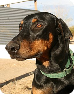 Doberman Pinscher Dog for adoption in Phelan, California - Turner