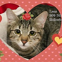 Domestic Shorthair Kitten for adoption in Monrovia, California - LENA