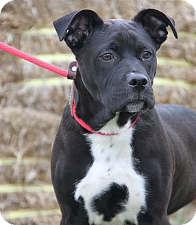 Labrador Retriever Mix Dog for adoption in Marietta, Ohio - Cole (Neutered)
