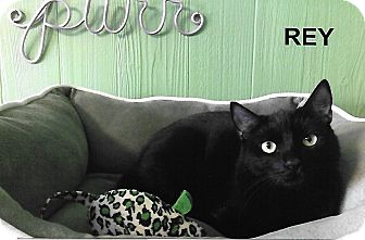Domestic Shorthair Cat for adoption in Medway, Massachusetts - Rey