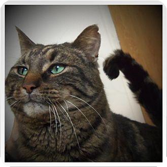 Domestic Shorthair Cat for adoption in Medford, Wisconsin - RAYMOND