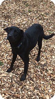 Labrador Retriever Mix Puppy for adoption in South Park, Pennsylvania - Yoshi