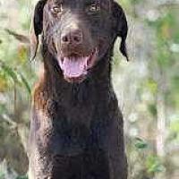 Adopt A Pet :: Comet - Sarasota, FL