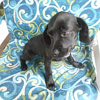 Adopt A Pet :: Hayden - Female Puppy/Adopted! - Kannapolis, NC