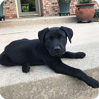 Labrador Retriever/Shepherd (Unknown Type) Mix Puppy for adoption in Oklahoma City, Oklahoma - Theodore