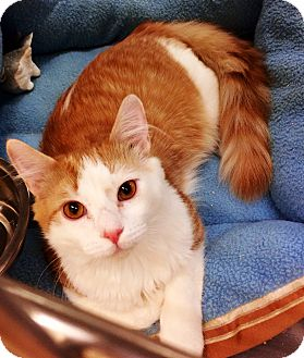 Domestic Mediumhair Cat for adoption in Murrieta, California - Lancelot
