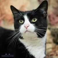 Adopt A Pet :: Mittens - Lowell, MA