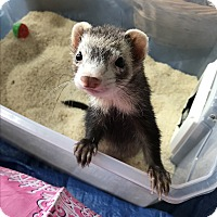Adopt A Pet :: HENRY - Brandy Station, VA