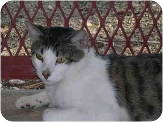 Domestic Shorthair Cat for adoption in Drumright, Oklahoma - Joseph