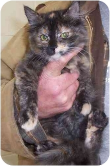 RagaMuffin Kitten for adoption in Buffalo, New York - Hocus Pocus: Fluffy and Cuddly