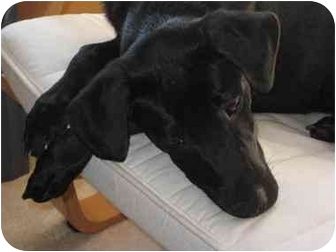 Labrador Retriever Mix Dog for adoption in Staunton, Virginia - Dezzie