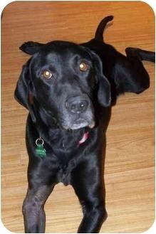 Labrador Retriever/Basset Hound Mix Dog for adoption in Salem, Massachusetts - Abe