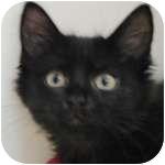 Domestic Shorthair Kitten for adoption in Wheaton, Illinois - Oliver