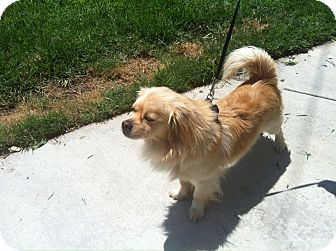 Tibetan Spaniel Dog for adoption in Santa Monica, California - Eddie
