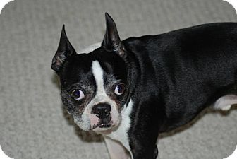 Boston Terrier Dog for adoption in Plainfield, Illinois - Winston