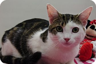 Domestic Shorthair Kitten for adoption in Wayne, New Jersey - Cricket