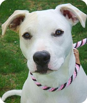 American Pit Bull Terrier Mix Dog for adoption in Red Bluff, California - Molly