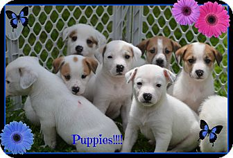 Labrador Retriever/Australian Cattle Dog Mix Puppy for adoption in Plano, Texas - Puppies
