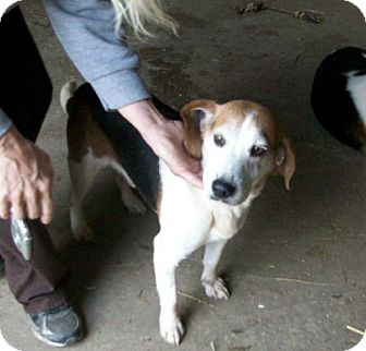 Beagle Dog for adoption in Liberty Center, Ohio - Otis