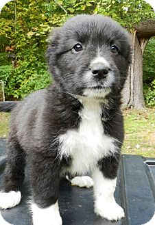"""Border Collie Mix Puppy for adoption in Oswego, Illinois - Trick or Treats """"Candy"""""""