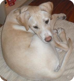Labrador Retriever/American Staffordshire Terrier Mix Puppy for adoption in Saskatoon, Saskatchewan - Serenity