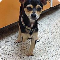 Adopt A Pet :: Jolie - Oceanside, CA
