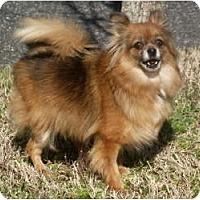 Adopt A Pet :: Pompom Baby - Baltimore, MD