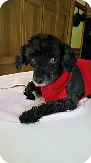 Poodle (Toy or Tea Cup) Mix Dog for adoption in Essex Junction, Vermont - Taz