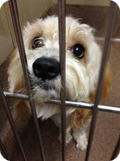 Shih Tzu Mix Dog for adoption in Huntley, Illinois - Bruno