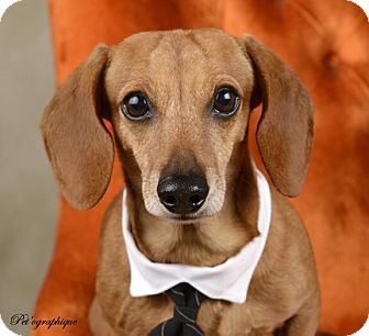 Dachshund Mix Dog for adoption in Las Vegas, Nevada - Nelson